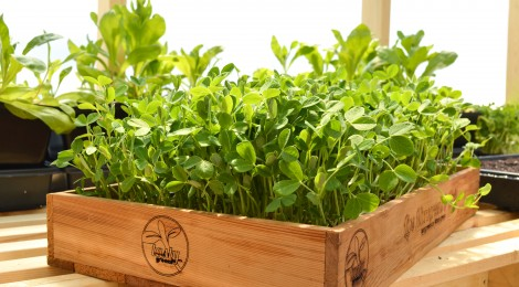Microgreens in a wooden box
