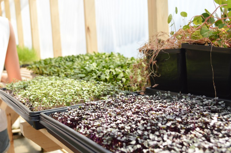 Various types of microgreens growing in the greenhouse.