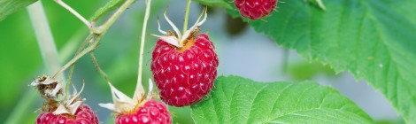 Branch of a red raspberry in summer day