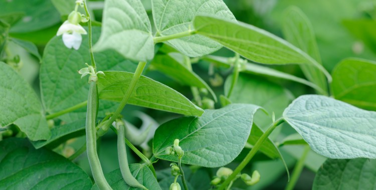Green french beans planted in vegetables garden
