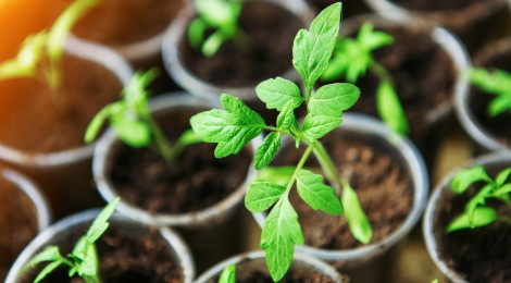 tomato seedlings in little pots